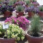 CSU Annual Flower Trial Garden 2010 Part II