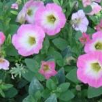 CSU Annual Flower Trial Garden 2010 Part III